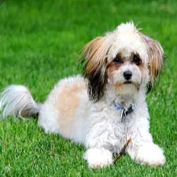 Shih-Poo Teddy Bear Dog