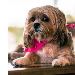 Shorkie Teddy Bear Dog