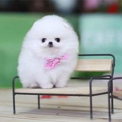 Teacup Pomeranian Teddy Bear Dog