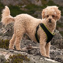 Teddy Bear Dog Poochon