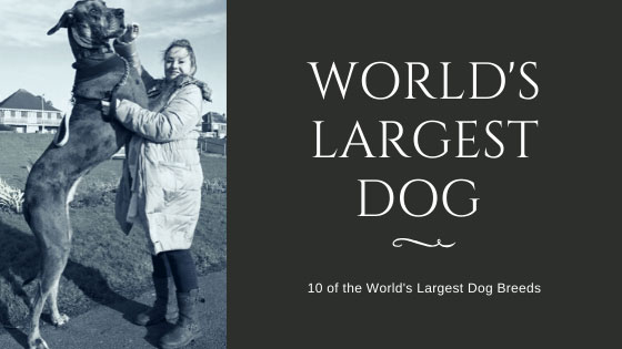 10 of the World's Largest Dog Breeds