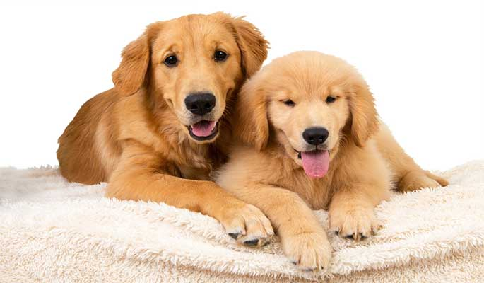 10 Best Dog Food For Golden Retrievers ( Adult + Puppy)