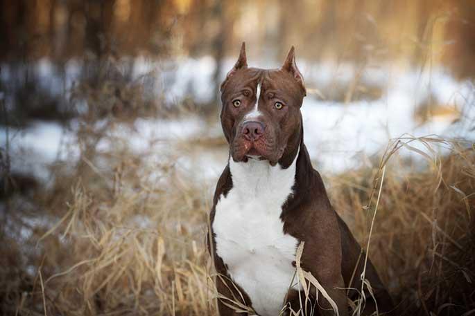 American Pit Bull Terrier Breeders