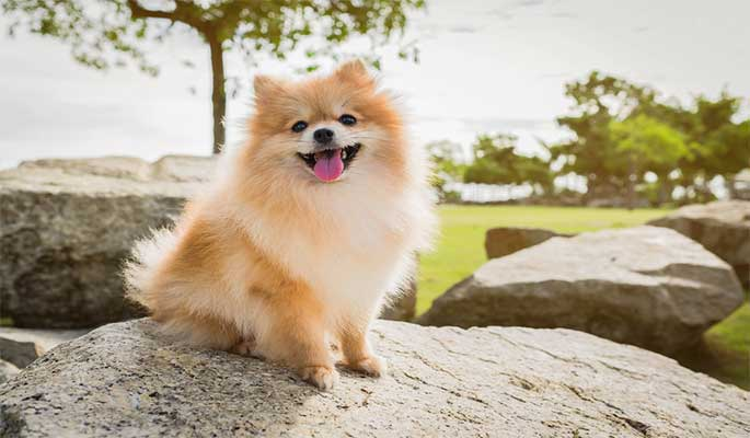 10 Best Dog Food For Pomeranian