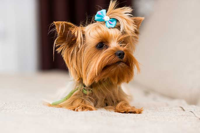 miniature dog breed