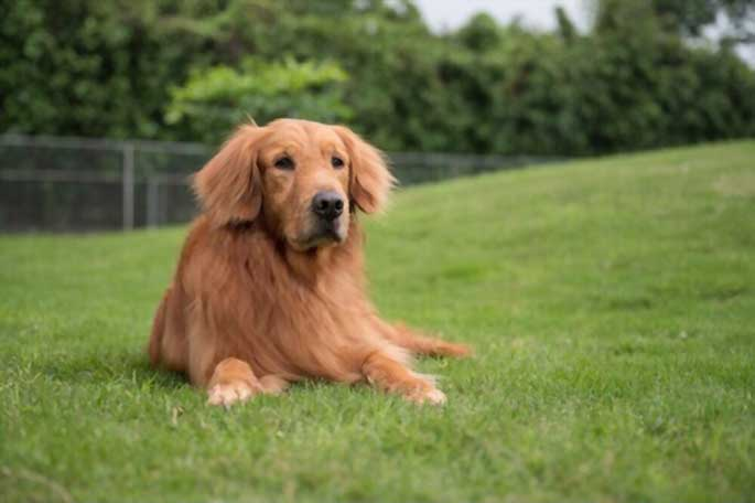 Facts Every Golden Retriever Owner Needs to Know