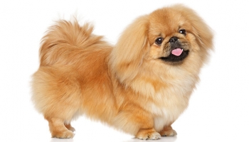 10 Cute Little Short Legged Dog Breeds