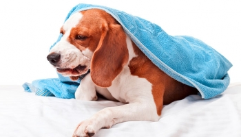 What to Do When Your Dog is Coughing Up Blood